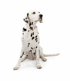 Dalmatian Dog Sitting Pretty Stock Images