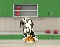 Dalmatian dog refuse to eat dry food. Dalmatian dog sitting at the table and refuse to eat dry food stock photos