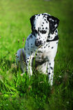 Dalmatian dog sniffing the wild flower. Dalmatian dog sitting at the green grass sniffing the flower Stock Photo