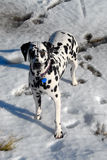 Dalmatian dog on snow Stock Image