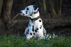 Dalmatian dog with snowdrops. Dalmatian dog on a greenfield with snowdrops Stock Image