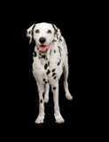 Dalmatian Dog Standing Royalty Free Stock Photo