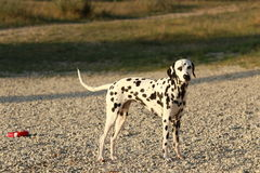 Dalmatian dog standing on a beach sideways Stock Photos