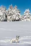 Dalmatian dog standing in snow Royalty Free Stock Image