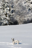 Dalmatian dog standing in snow Stock Images