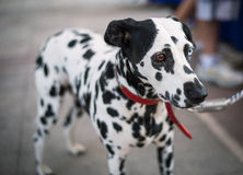 Dalmatian dog on the street Stock Images