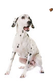 Dalmatian dog in studio. Dalmatian dog in front of white background Stock Image