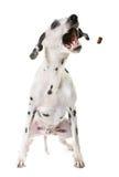 Dalmatian dog in studio Royalty Free Stock Photography