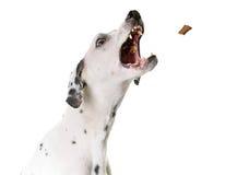 Dalmatian dog in studio Stock Image