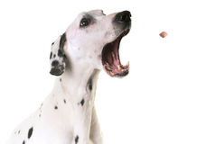 Dalmatian dog in studio. Dalmatian dog in front of white background Royalty Free Stock Photo