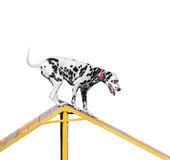 Dalmatian dog is trained on the barrier slide Royalty Free Stock Photo