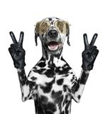 Dalmatian dog with two victory fingers. Isolated on white Stock Image