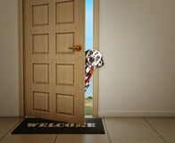Dalmatian dog waiting near the door with leather leash, ready to go for a walk with his owner. Cute dalmatian dog waiting near the door with leather leash, ready Royalty Free Stock Photography