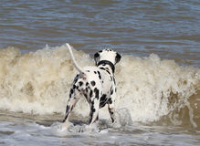 Dalmatian dog watching the ocean waves Royalty Free Stock Photography