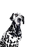 Dalmatian dog on white Stock Photography