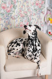 Dalmatian dog on a white chair in the bright Shabby interior. Retro objects, vintage decor Royalty Free Stock Images