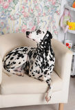 Dalmatian dog on a white chair in the bright Shabby interior. Retro objects, vintage decor Stock Images