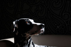 Dalmatian dog on a white chair in a steel-gray interior. Hard studio lighting. Artistic portrait close up Royalty Free Stock Photography