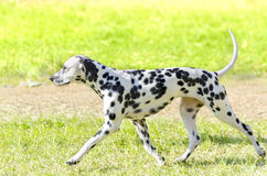 Dalmatian dog. A young beautiful Dalmatian dog running on the grass distinctive for its white and black spots on its coat and for being alert, active and an Stock Photo