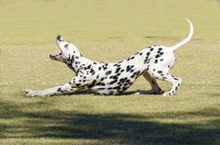 Dalmatian dog. A young beautiful Dalmatian dog stretching and yawning on the grass distinctive for its white and black spots on its coat and for being alert Royalty Free Stock Photography
