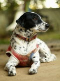 Dalmatian dog Stock Image