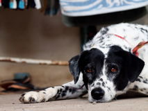 Dalmatian dog Royalty Free Stock Photography
