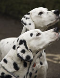 Dalmatian dogs. Two friendly, black and white spotted Dalmatian dogs Stock Images