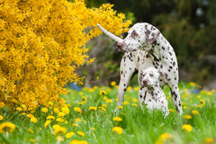 Dalmatian dogs Stock Image