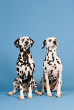 Dalmatian dogs on blue background Stock Photos