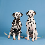 Dalmatian dogs on blue background Royalty Free Stock Images