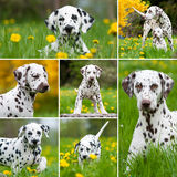 Dalmatian dogs Stock Photos