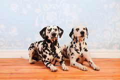 Dalmatian dogs laying at the floor Stock Photography