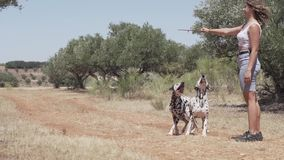Dalmatian dogs playing and jumping in the forest stock footage
