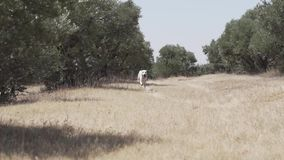 Dalmatian dogs playing and jumping in the forest stock video