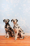 Dalmatian dogs sitting at the floor Royalty Free Stock Photography