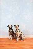 Dalmatian dogs sitting in living room Stock Image