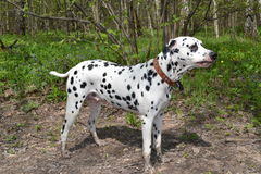 Dalmatian. Dolmatina dog walks in the spring forest Stock Photo