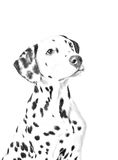 Dalmatian drawing Royalty Free Stock Images