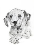 Dalmatian drawing portrait Stock Images