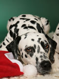 Dalmatian dreaming of a white Christmas. A cute Dalmatian dog hound with santa's hat that might be dreaming of a white Christmas stock photo