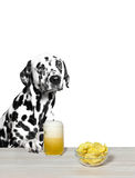 Dalmatian drinking beer and chips. White background Royalty Free Stock Image