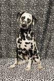 Dalmatian em pontos Foto de Stock