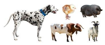 Dalmatian en andere landbouwbedrijfdieren Geïsoleerd over wit Stock Foto's