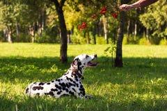 Dalmatian en bosque fotografía de archivo libre de regalías