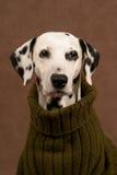 Dalmatian en un suéter Imágenes de archivo libres de regalías