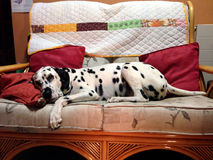 Dalmatian enjoying sofa to himself Royalty Free Stock Photos
