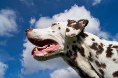 Dalmatian enjoying the sunshine Royalty Free Stock Photo