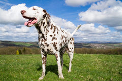 Dalmatian enjoying the sunshine stock photo