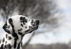 Dalmatian is enjoying the weather. Dalmatian is sitting and enjoying the weather stock photos