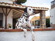 Dalmatian eyes. Checking the way and the people coming Stock Photography